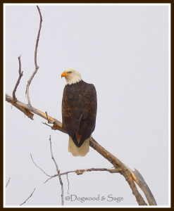Bald  Eagle watermark 1 frame
